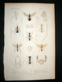Cuvier C1840 Antique Hand Col Print. Insects 117